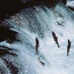 La técnica del salmón